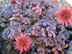 Spreading mats of finely cut, coppery grey leaves with red burrs in summer. Purple And White Flowers, Drought Resistant Plants, Covered Garden, Ground Cover Plants, Unusual Plants, Foliage Plants, Plant Wall, Edible Garden, Little White