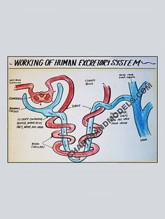 Buy Working of Human Excretory System Charts Online Buy Working of Human Excretory System Charts Online for schools as well as students regarding their project.