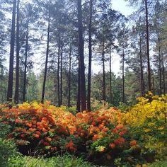 . . . . . . . . . #alppiruusupuisto #alppiruusu #rhododendronpark #rhododendron #flowers #plants  . . . . . . . . . #alppiruusupuisto #alppiruusu #rhododendronpark #rhododendron #flowers #plants #green #orange #yellow #summer #beautiful #flower #garden #wander #photography #floral #flowerstagram #colorful Rhododendron Park, Orange Yellow, Planting Flowers, Wander, Colorful, Floral, Green, Plants, Summer