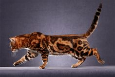 Bengal cat Marble - next cat I do believe.
