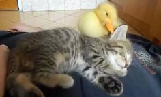What's Cuter Than This Duckling? Absolutely Nothing (Video)