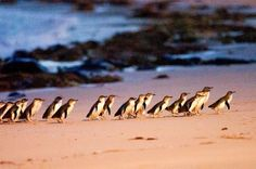 Australia - Google+...Fairy Penguins such happy memories seeing them come ashore just like this in Tasmania