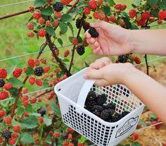 Where to Pick Your Own Fruit This Spring around Houston, TX