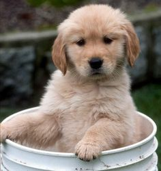 Golden retrievers are some of the softest, fluffiest puppies ever .
