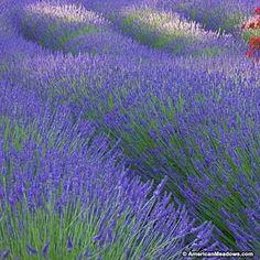Purple Lavender Munstead Seeds, Lavandula angustifolia, Lavender Munstead