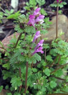 HENBIT: (Lamium amplexicaule). Photograph taken in Aliquippa, PA, April 24, 2013.