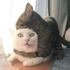 『写真撮ってないで…助けろや!コラアァァァァ』猫同士のケンカを止めないでいると・・・ | mofmo