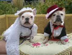 French Bulldogs as bride and groom