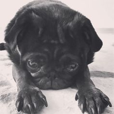 #黒パグ #pug #ぱぐ