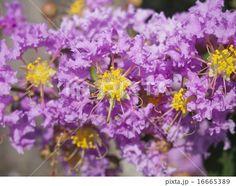Flower of the crape myrtle | サルスベリ (=百日紅 ヒャクジツコウ) の花