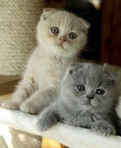 OMG! These Scottish Fold kitties are toooo adorable !!