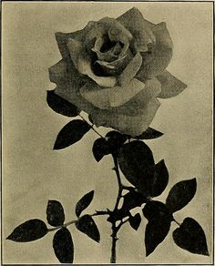 "Image from page 78 of ""Commercial rose culture under glass and outdoors; a practical guide to modern methods of growing the rose for market purposes"" (1919) 
