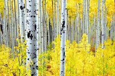 Forêts de bouleaux dans le Colorado Photo