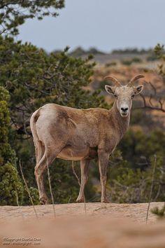 Desert Bighorn, Canyonlands National Park, Utah