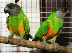 É um excelente papagaio para iniciados, não é muito dispendioso, é relativamente pequeno, não é um animal destruidor e, acima de tudo, não é barulhento.