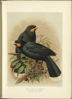 Thanks to a process called de-extinction, hope is not lost for extinct animals. Here is a list of 25 extinct animals that scientists want to de-extinct: Extinct Birds, Extinct Animals, Bird Illustration, Botanical Illustration, Rainforest Birds, Fabric Panel Quilts, Fabric Panels, Bird Coloring Pages, Vintage Birds