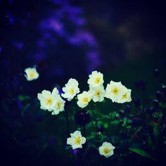 Twilight #flowers #insta_nature #instaflower #petals #plants #nature #field #beautiful #photography #fotografie #art #garden #insta_garden_lovers #floral #colourful #fujifilm #voigtlander #bloemen Fuji, Twilight, Lovers, Garden, Plants, Beautiful, Garten, Lawn And Garden, Gardens