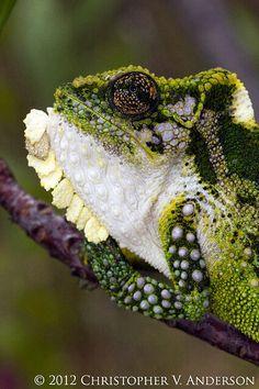 Bradypodion thamnobates (Natal Midlands Dwarf Chameleon), Howick, KwaZulu Natal Province, South Africa