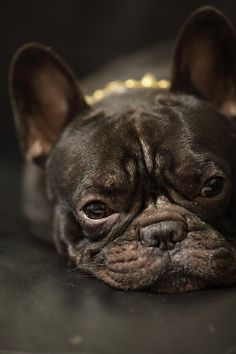Princess in Pearls, Black French Bulldog.