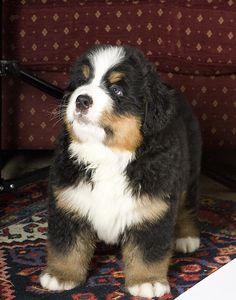 My bernese mountain dog Winston free http://MountainDogTraining.readytodownload.net/