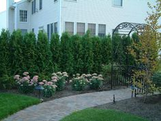 Landscaping for privacy / Thuja is used here to provide privacy instead of a fence. -- Note that often fences are not allowed in the front yard, but most will welcome a lovely hedge of shrubbery.  This hedge is especially appealing because of the addition of flowering perennials.