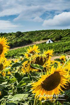 Der Sommer im Weinviertel verspricht neben traumhaften Landschaftsbildern auch unvergessliche Erlebnisse. Ob eine Radtour vorbei an blühenden Sonnenblumenfeldern und saftigen Weingärten, feucht-fröhlicher Badespaß in erfrischenden Badeteichen oder der Genuss eines romantischen Sonnenuntergangs beim Heurigen mit Blick auf Weingärten und Sonnenblumen - das Weinviertel ist wohl der schönste Ort um seinen Sommerurlaub zu verbringen. Los geht's! © Niederoesterreich Werbung / Michael Liebert Plants, Summer Vacations, Landscape Pictures, Beautiful Places, Wine, Advertising, Nice Asses, Plant, Planets