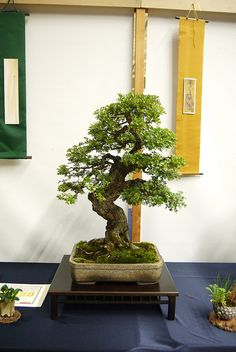 Sussex Bonsai Show, Crawley K2 2013 | Flickr: Intercambio de fotos