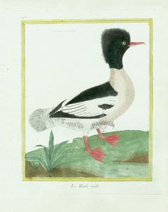 Martinet c1770's: Harle Merganzer. Duck