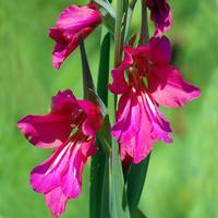 Gladiolus communis byzantinus2
