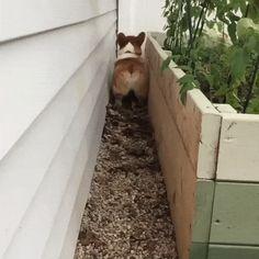 Beep, beep, beep, watch out for my cute little corgi butt