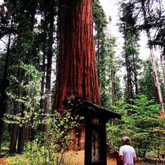 #calaveras #bigtrees #bigtreesstatepark #sequoia #takeahike #california #explore #explorenature #exploreyourworld #explorecalifornia #nature #natureisart #majestic #roadtrip #adventure #trees #treehugger by kimkat1379