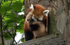 Red Panda (One of my new favorite animals)