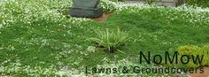 Image result for images of camomile crazy paving