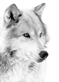 Wolf portrait in black and white tones.  Artwork for sale.  http://fineartamerica.com/featured/grey-wolf-profile-athena-mckinzie.html