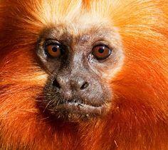 mico leão dourado - Pesquisa Google