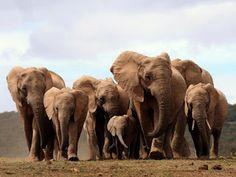 """""""O Grito do Bicho"""": Cresce o número de elefantes africanos nascidos se..."""