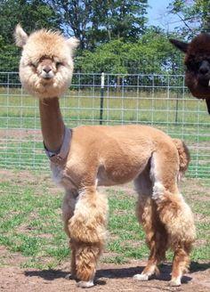 cute-alpaca6-400x557.jpg (400×557)