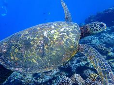 Beautiful shel on this guy!! Happy #alohafriday!