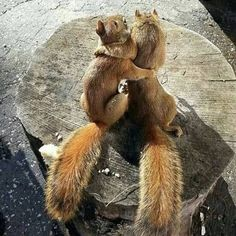 Squirrel love nuts so much. In case you live close to a nut tree, there is a chance that you can spot a squirrel running around carrying a nut. Cute Funny Animals, Cute Baby Animals, Funny Cute, Nature Animals, Animals And Pets, Wild Animals, Beautiful Creatures, Animals Beautiful, Cute Squirrel