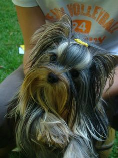 I luv long haired yorkies