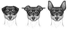 American Rat Terrier Association, ear faults
