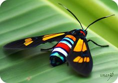 African Day-Flying Moth by umar36, via Flickr