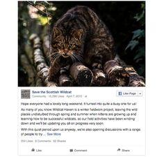 Scottish Wildcat - extremelyendangered