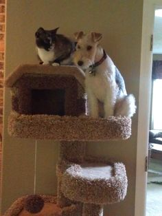 Asta loves the cat tree. Sitting with Kharma. Just one more reason I love Fox Terriers.