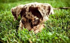 Австралийская овчарка (фото): красота, ум и преданность