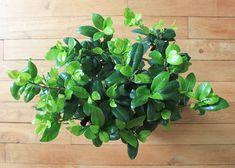 S'entourer de belles plantes : le Ficus Ginseng - FrenchyFancy Ginseng Bonsai, Bonsai Ficus, Green Factory, Belle Plante, Decoration, Green, Plants, Bonsai Seeds, Small Palm Trees