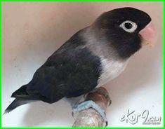 25 Jenis Lovebird Terbaik Paling Cantik Yang Bagus Untuk Kontes Dunia Fauna Hewan Binatang Tumbuhan Hewan Binatang Jenis