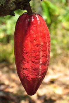 Cacao Amazing Nature, Farmers, Agriculture, Pumpkin, Stuffed Peppers, Vegetables, Food, Cocoa, Natural Medicine