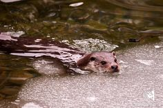 Fischotter Cumberland Wildpark Grünau Camera Settings, Good Photos, Image Editing, Photographers, Pisces