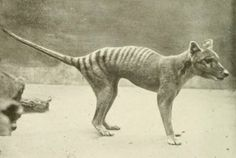 """resurrection biology is in the process of bringing them back from extinction - Photo of living tasmanian tiger under the catagory, """"Photos of extinct animals taken while still extant."""" Video footage of this now extinct animal! Interesting Animals, Unusual Animals, Rare Animals, Animals Beautiful, Extinct Birds, Extinct Animals, Prehistoric Animals, Mundo Animal, My Animal"""